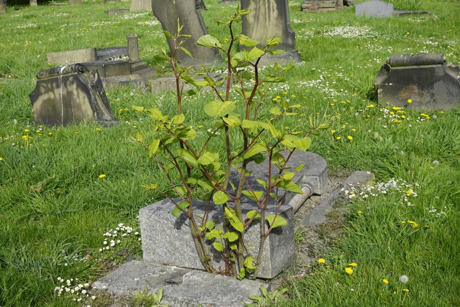 Japanese knotweed growing through stone